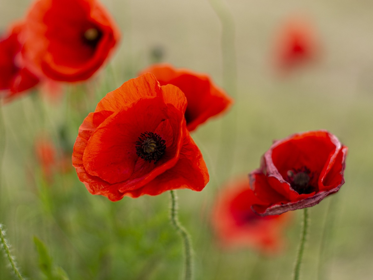 How to commemorate Anzac Day from home